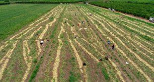 Geçen yıl 6 liraya satılan soğan 50 kuruşa kadar düştü