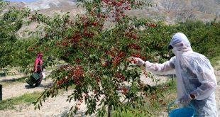 95 ülkeye ihracatı yapılan vişnenin hasadı başladı