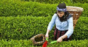 ÇAYKUR, üreticiden aldığı yaş çay için ödemelere başladı