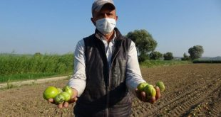 Salçalık domatesleri hastalık ve yağmur vurdu! Salça krizi kapıda…