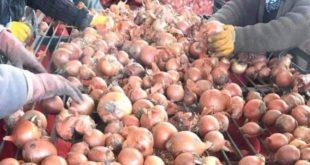 Soğan ve patateste ihracatın serbest olması çiftçiyi rahatlattı