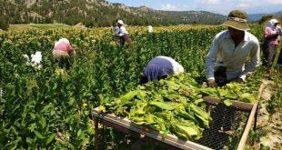 Tütün yasası çiftçiyi vuracak