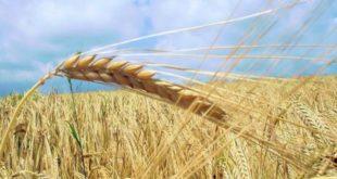 Buğday ithalatı tam 6 kat arttı,Buğday'da doğru bilinen yanlışlar