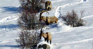 Tepkilere rağmen dağ keçisi ihalesine devam