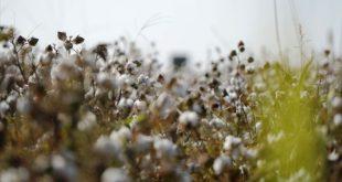 Çiftçi pamuk üretimini bırakıyor
