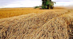 İktidarın buğday politikası iflas etti,ekim alanları azaldı