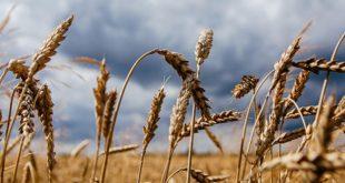 Buğday ithalatı makarnacılar için mi yapılıyor?