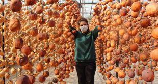 Cennet Elma'sı üretmeye 40 kiloyla başladı ,hedefi 15 ton