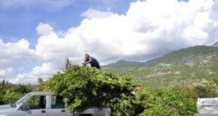 Manavgat'ta defne yaprağı heyecanı,5 milyon lira gelir bekliyorlar