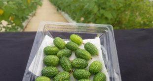 Antalya'da ağırlığı 5 gram olan 'baby karpuz' üretiliyor