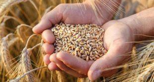 Buğday'da ithalat rekor seviyeye çıktı