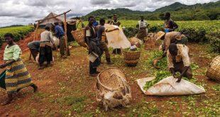 Dünya tarımı, kapitalist tekellere emanet edilirken, küçük çiftçilik tasfiye ediliyor