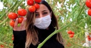 Eksi 40 derecede, serada domates üretimi