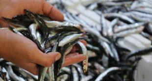 İstanbul Boğazı ve Karadeniz'deki hamsi avı yasağı 7 Şubat'a kadar uzatıldı