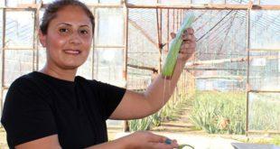 Antalya'da aloe vera üreticisi oldu, taleplere yetişemiyor