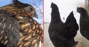 İç organları bile ömür karası olan horoz ve tavuklar 2 bin 500 dolardan satılıyor