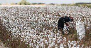 Pamukta dışa bağımlılık sürekli artıyor üretim alanları küçülüyor