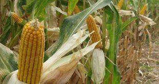 Tarım Bakanlığı, GDO'lu mısır ve 4 soya çeşidinin hayvan yeminde kullanılmasına onay verdi