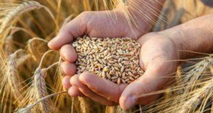 TMO yerli buğday alımında yok, ithalde var