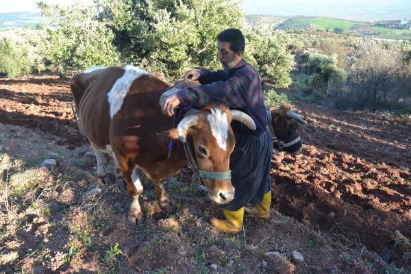 Bu köyde hala 'kara saban' kullanılıyor! Ekmek parasını iki öküzün sırtından kazanıyor
