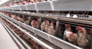 Türkiye'de yumurta fiyatlarını belirleyen ilçede 5 bin insan yaşıyor