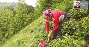 Yaş çay alımında ÇAYKUR 'un payı nasıl yüzde 50 'ye düştü