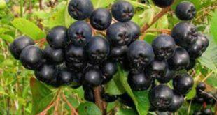Üzümsü meyve Aronya üretimi yeni gelir kapısı olacak